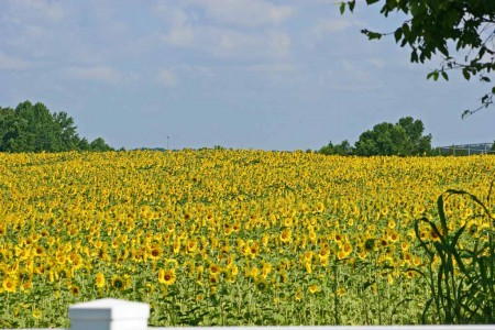 NRT-City-owned-sunflower-field-near-Battle-Bridge-Road
